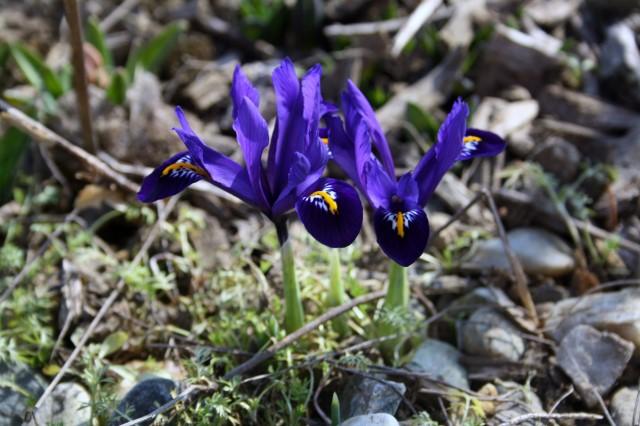 Iris (640x426)